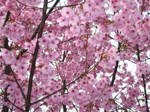 [写真:桜]