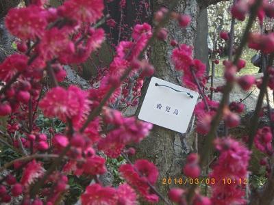 2018縮景園の梅