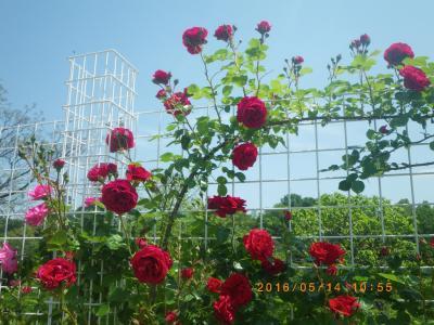 2016植物公園バラ祭り