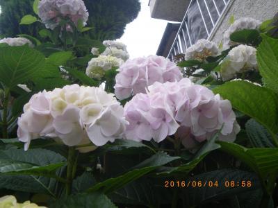 2016紫陽花2