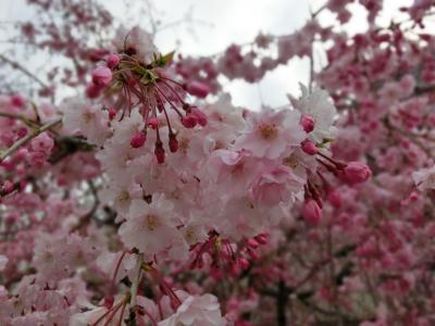 2014しだれ桜-2