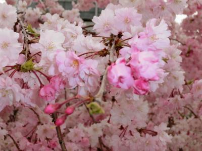 2014しだれ桜-5