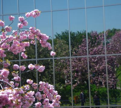 広島造幣局―八重桜