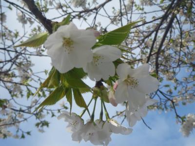 2015桜(ソメイヨシノ)-2