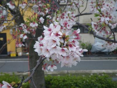 2015桜(ソメイヨシノ)-3